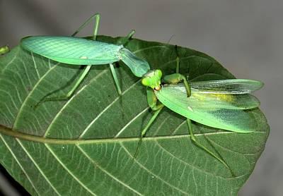 Eating Entomology Photograph - Asian Mantis Eating Her Mate by K Jayaram