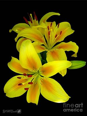 Mccombie Photograph - Asiatic Lily Named Connecticut King by J McCombie