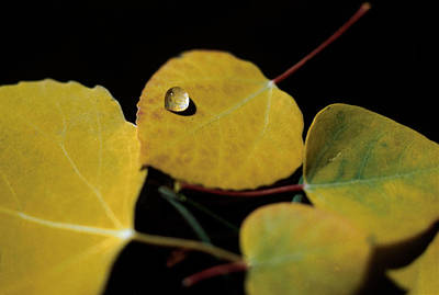 Yellow Photograph - Aspen Drop by Jerry McElroy