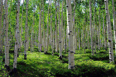 Glen Photograph - Aspen Glen by The Forests Edge Photography - Diane Sandoval
