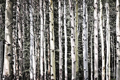 Natural Wood Photograph - Aspen Tree Trunks by Elena Elisseeva