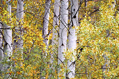 Trembling Digital Art - Aspen Trees Digital Artwork by Sharon Talson