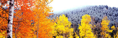 Aspen Trees In A Forest, Blacktail Print by Panoramic Images