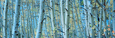 Aspen Trees In A Forest, Rock Creek Print by Panoramic Images