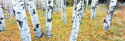 Coconino National Forest Photograph - Aspen Trees In A Grove, Hart Prairie by Panoramic Images