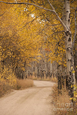 Curving Road Photograph - Aspen Trees In Autumn by Juli Scalzi