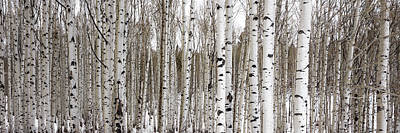 Aspens In Winter Panorama - Colorado Print by Brian Harig