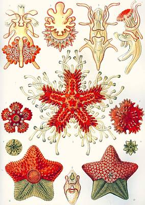 Aquatic Life Drawing - Asteridea by Ernst Haeckel