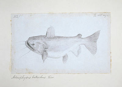 Catfish Photograph - Asterophysus Batrachus by Natural History Museum, London