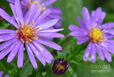 Flower Photograph - Asters After The Rain by Deborah Smolinske