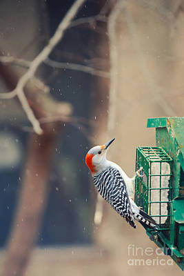 At The Feeder 1 Print by Kay Pickens