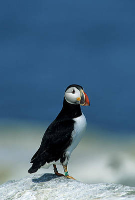 Atlantic Puffin (fratercula Arctica Print by Richard and Susan Day
