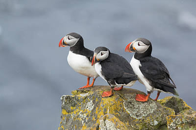 Puffin Photograph - Atlantic Puffin Trio Latrabjarg Iceland by Bill Coster
