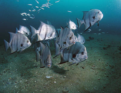 Atlantic Spadefish School Grays Reef Print by Flip Nicklin
