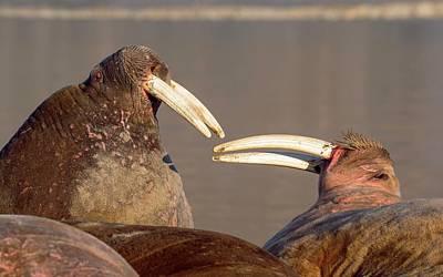 Atlantic Walrus Print by Peter J. Raymond
