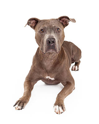 Attentive American Staffordshire Terrier Dog Laying Print by Susan  Schmitz