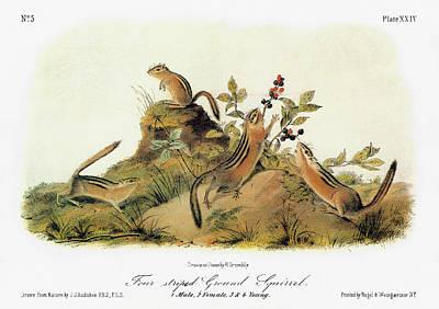 Chipmunk Painting - Audubon Chipmunk by Granger