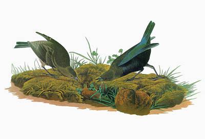 Audubon Cowbird Print by Granger