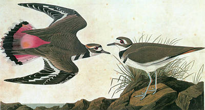 Killdeer Painting - Audubon Killdeer by Granger