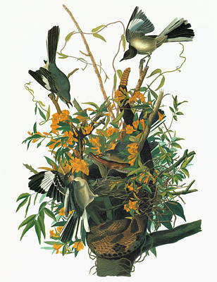 Mockingbird Painting - Audubon Mockingbird by Granger