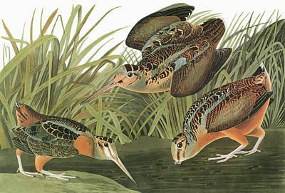 Woodcock Painting - Audubon Woodcock by Granger