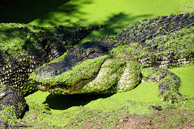 Alligator Photograph - Australia, Broome by Cindy Miller Hopkins