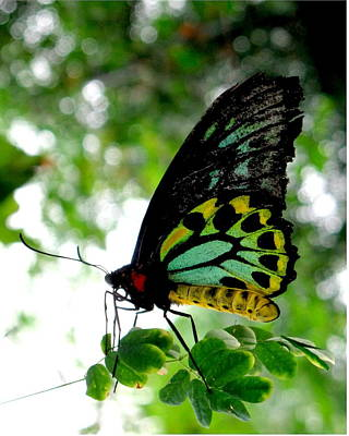 Photograph - Australian Butterfly Cairns Birdwing Ornithoptera Priamus by  Andrea Lazar