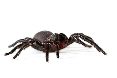 Australian Funnel-web Spider Print by Gerry Pearce