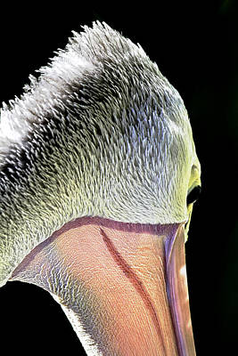 Detail Photograph - Australian Pelican Portrait by Mr Bennett Kent