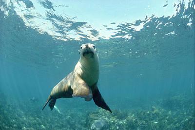 Australian Sea Lion Print by Jeff Rotman