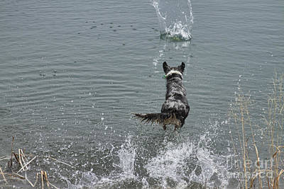 Corporate Art Photograph - Australian Shepherd Fun At The Lake Chasing The Ball by James BO  Insogna