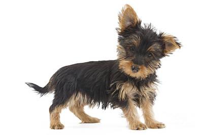 Silky Terrier Photograph - Australian Silky Terrier Puppy by Jean-Michel Labat