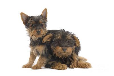 Silky Terrier Photograph - Australian Silky Terriers by Jean-Michel Labat