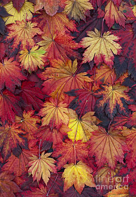 Multicolored Digital Art - Autumn Acer Leaves by Tim Gainey