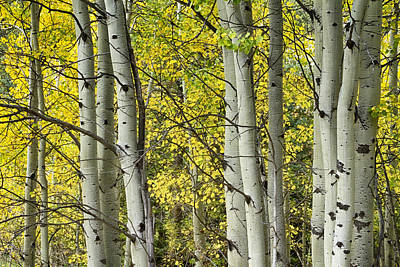 Autumn Aspen Tree Trunks In Their Glory Print by James BO  Insogna