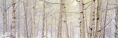 Autumn Aspens With Snow, Colorado, Usa Print by Panoramic Images