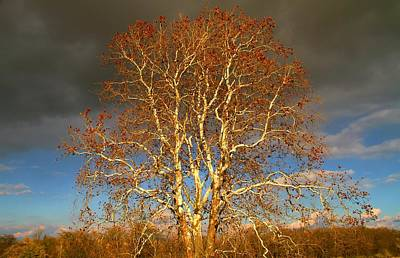 Farm In Woods Photograph - Autumn Birch by Dan Sproul