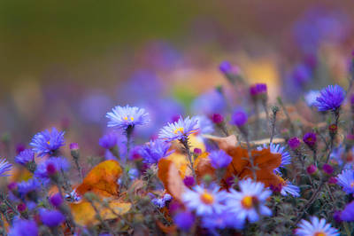 Autumn Blue Chrysanthemum Print by Jenny Rainbow