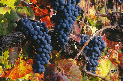 Autumn Cabernet Clusters  Print by Craig Lovell