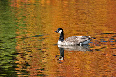 Ladnscape Photograph - Autumn Goose by Patrick Friery