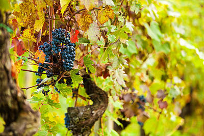 Autumn Grape Harvest Season Print by Susan  Schmitz