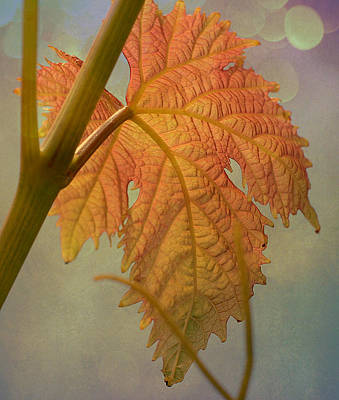 Grapevine Photograph - Autumn Grapevine by Fraida Gutovich