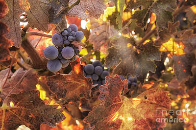 Central Coast Winery Photograph - Autumn In The Vineyard by Michele Steffey