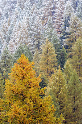 Autumn Larch Forest, Alps Switzerland Print by Heike Odermatt