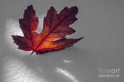 Autumn Leaf And Snow Print by Vishwanath Bhat