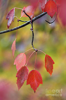 Southern Indiana Photograph - Autumn Maple - D008640 by Daniel Dempster