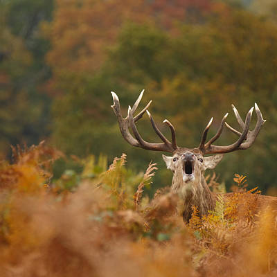 Autumn Red Deer Stag Roars Print by Izzy Standbridge