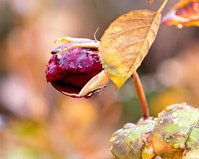 Red Leaves Photograph - Autumn Rosebud by Rona Black