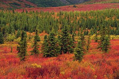 Autumn, Taiga, Denali National Park Print by Michel Hersen