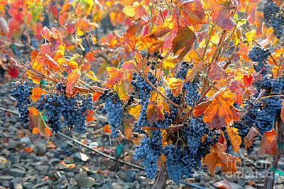 Autumn Vineyard Sunlight Print by Carol Groenen